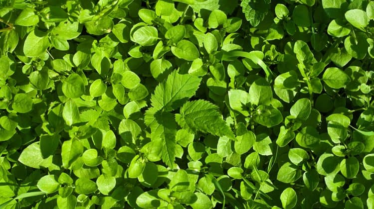 Chickweed leaves growing in a cluster together