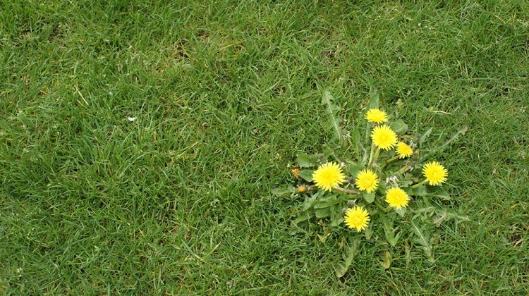 How to identify and get rid of broadleaf weeds in your lawn or garden