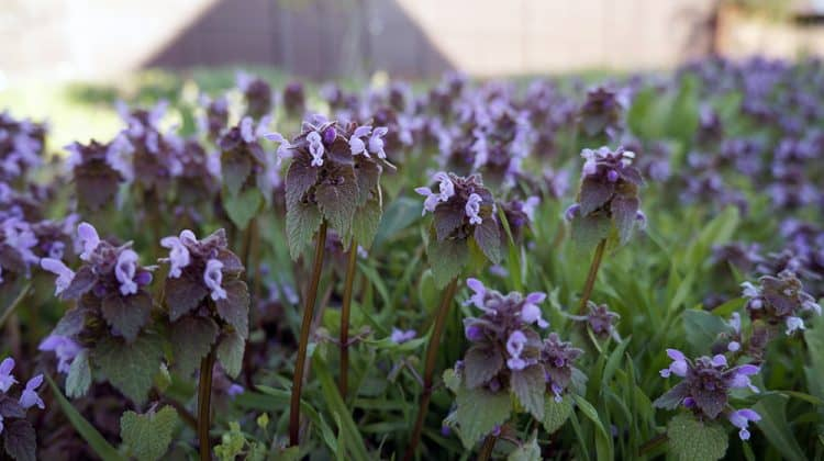 Ground ivy with violet flowers growing in a green lawn