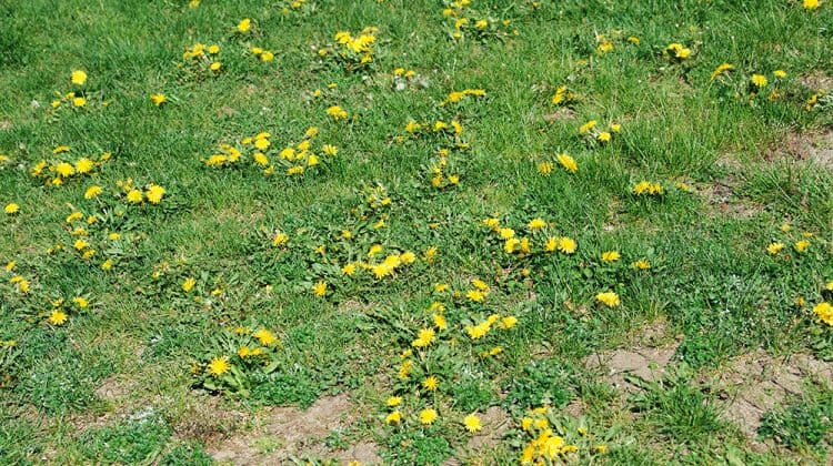 Feed your grass and soil to prevent a lawn full of weeds