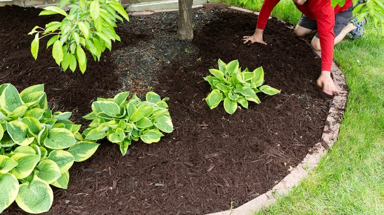 Man laying down mulch in garden to prevent weeds from growing through
