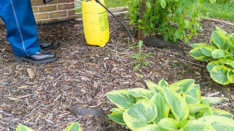 Man spraying weed killer herbicide on weeds in garden