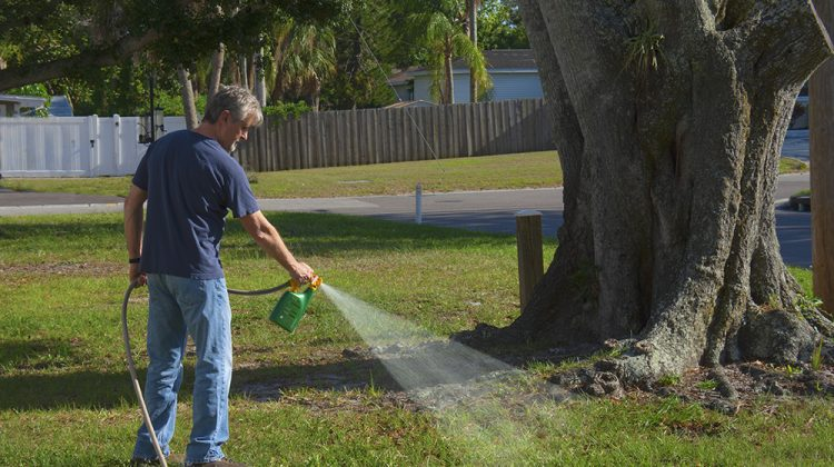 Man spraying weeds in grass on front lawn near a large tree