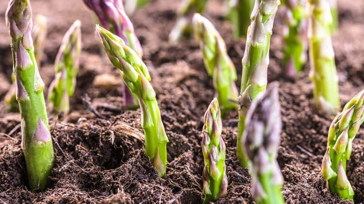 How to keep weeds out of asparagus beds