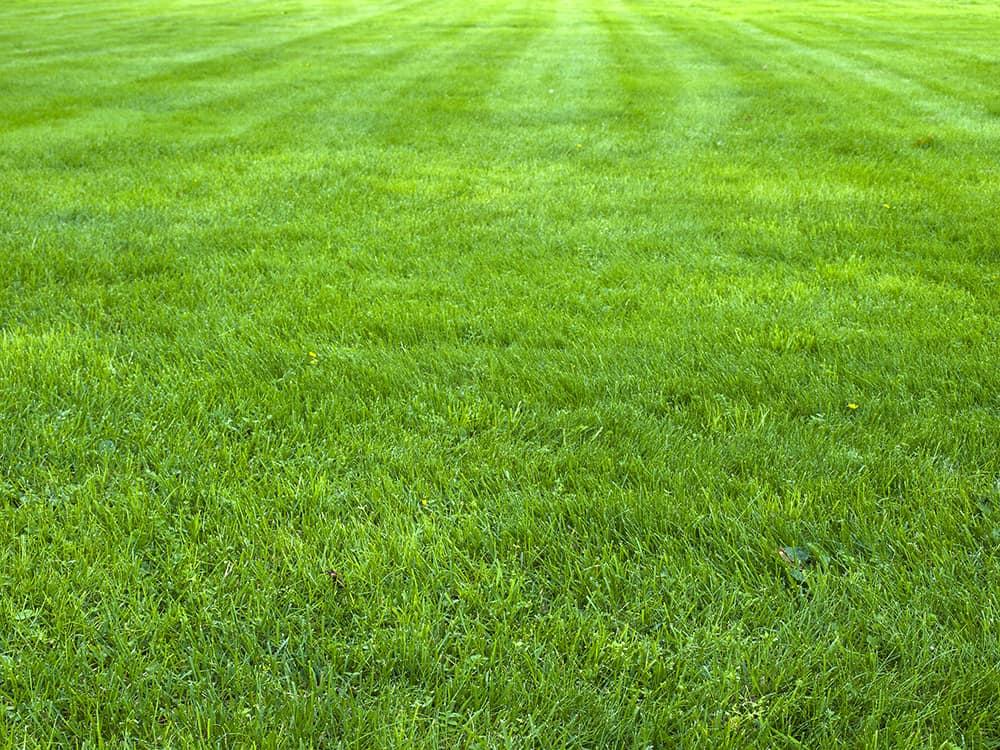 A spring lawn with fresh green grass high in nitrogen