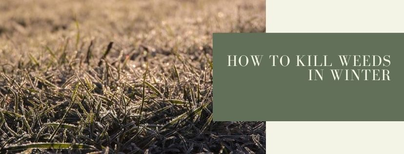 Learn how to kill weeds in winter and set your lawn up for success in the spring.