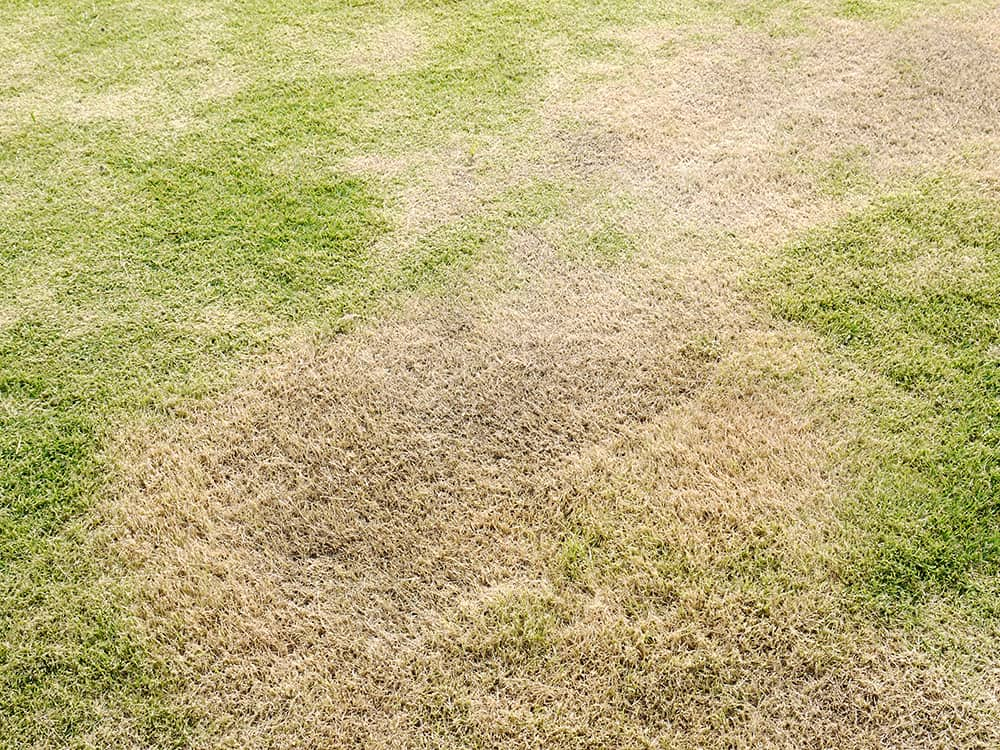 Lawn with large brown dead spots lacking in the nitrogen needed to give it its lush green look