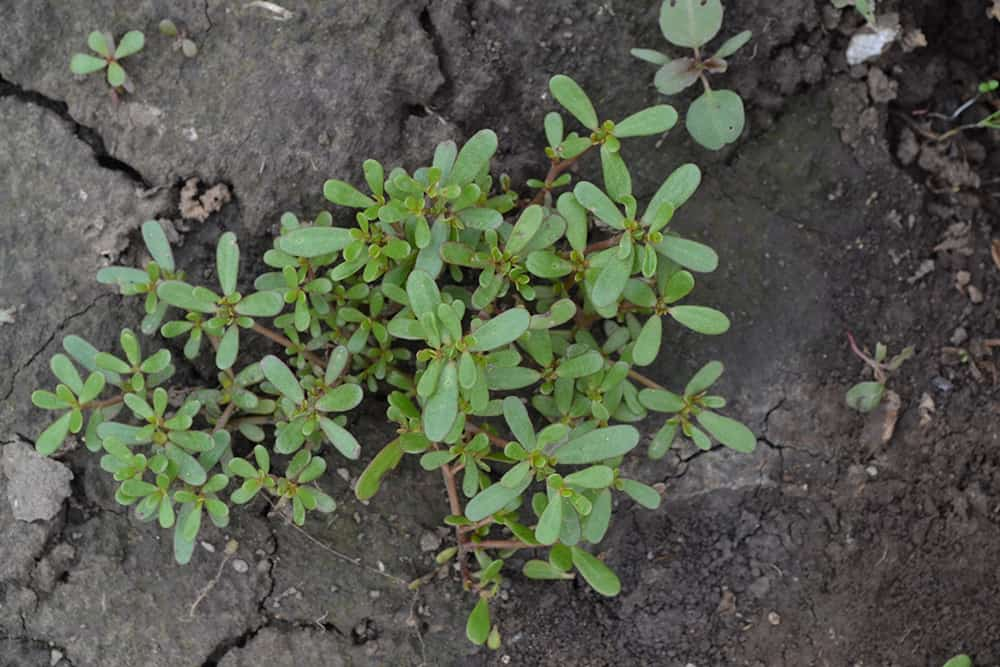 Invasive purslane weeds growing through the soil in a garden