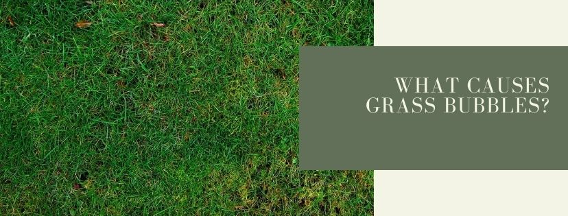 What Causes Grass Bubbles?