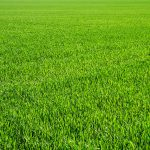 What nutrient makes grass green?