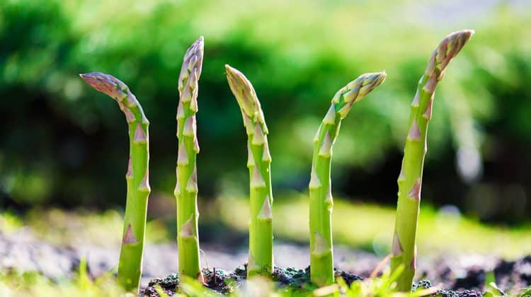 Young asparagus plants sprouting through the soil, free of weeds