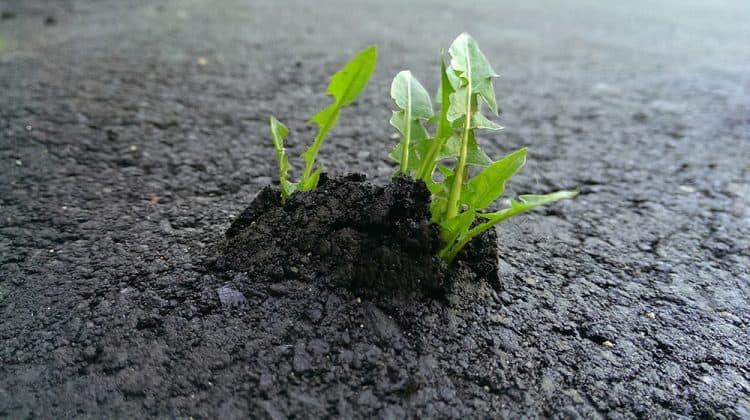 Why does grass grow through new asphalt