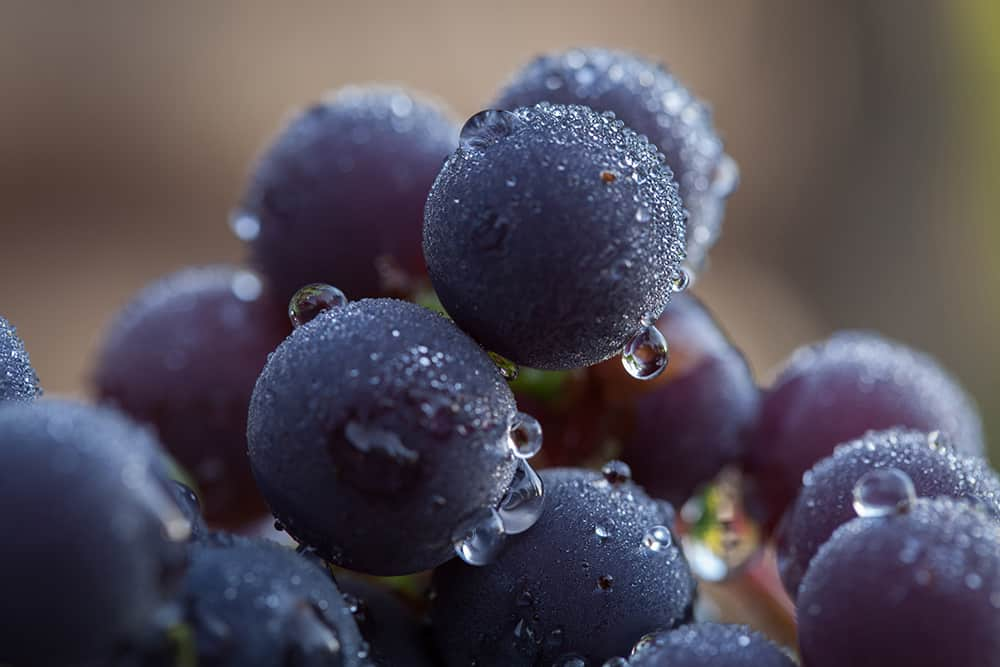 Freshly watered purple grapes on a grapevine