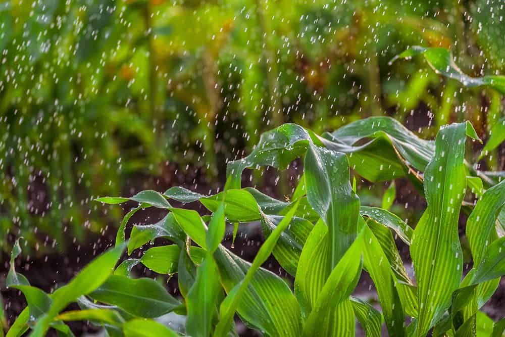 How much water does corn need?