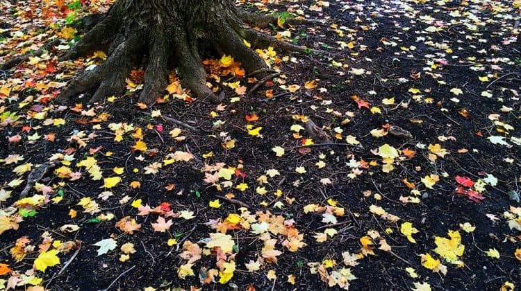 View of maple tree base and roots with maple leaves scattered on the soil and ground