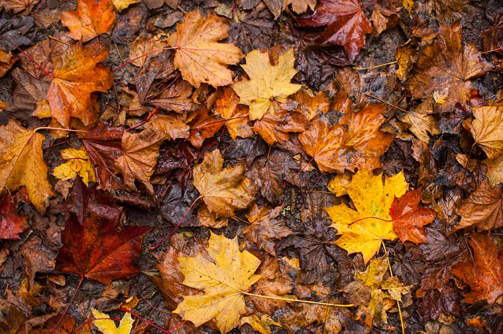 What to do with wet leaves
