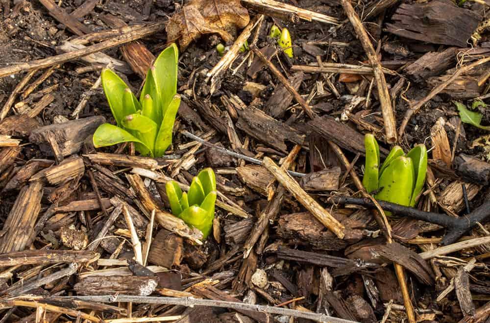 Will plants grow through mulch?