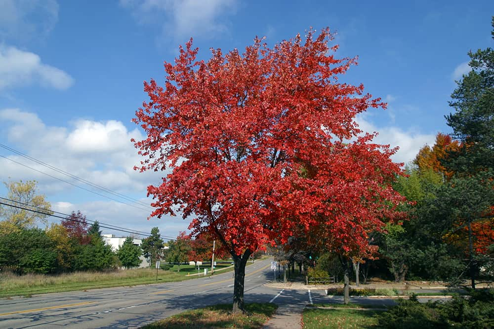 A maple tree planted far from houses, property, and power lines.