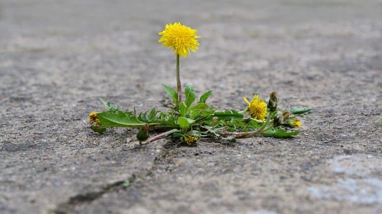 A single dandelion weed growing through an asphalt driveway