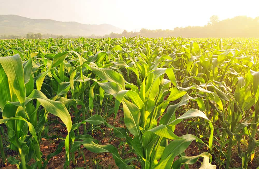 Sweet corn growing in a field during the summer