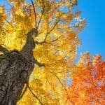 How far to plant a maple tree from house