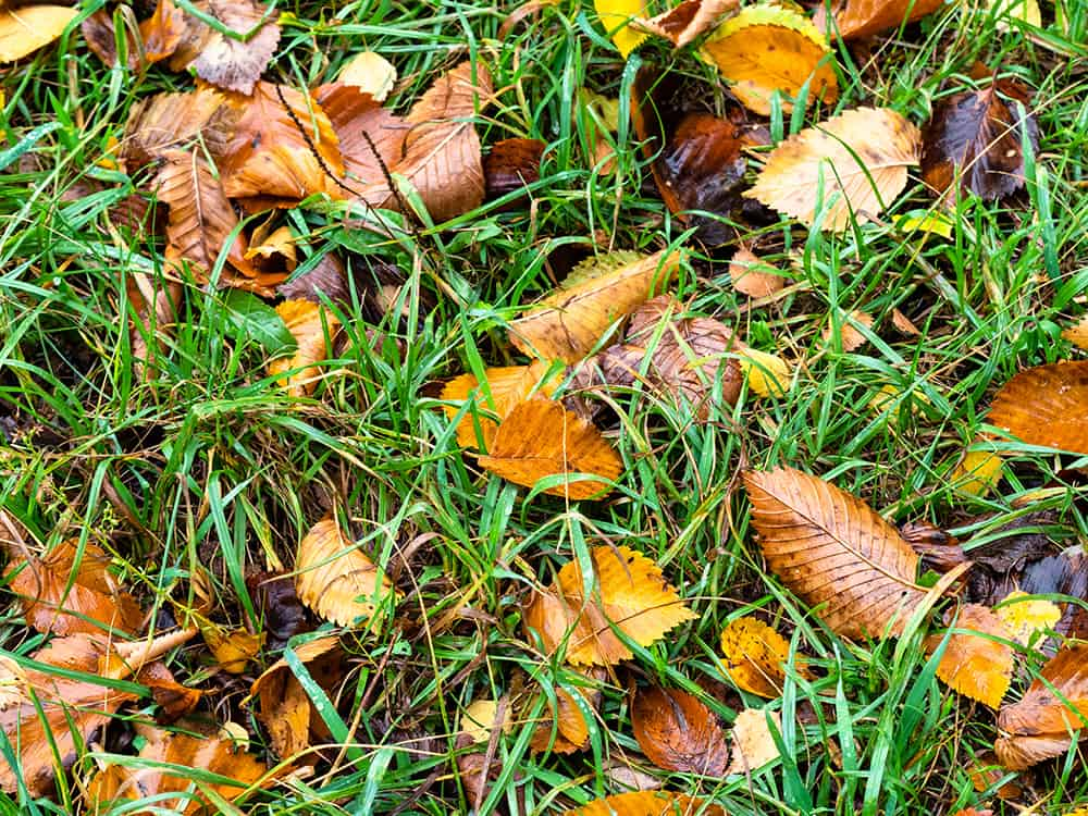 Fallen wet leaves scattered throughout the lawn and grass on a rainy autumn day