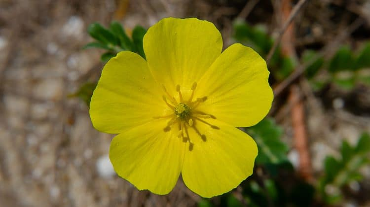 Close shot of yellow flower on goat head weeds
