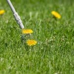 Best Time to Apply 2,4-D to Kill Weeds in Your Yard