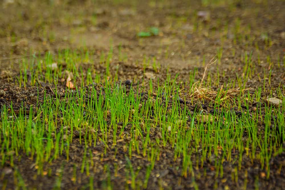Freshly seeded grass starting to germinate