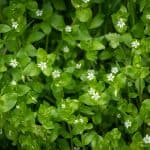 How to get rid of chickweed