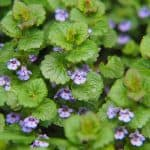 How to kill ground ivy