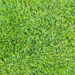 How to plant buffalo grass seed