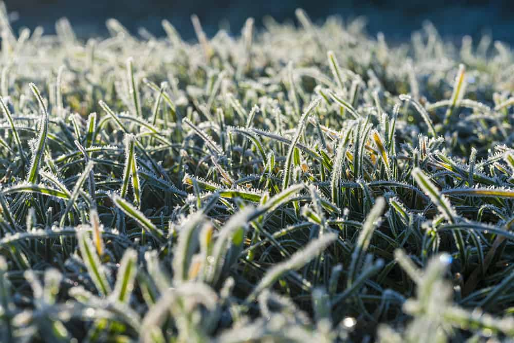 How to protect new grass from frost