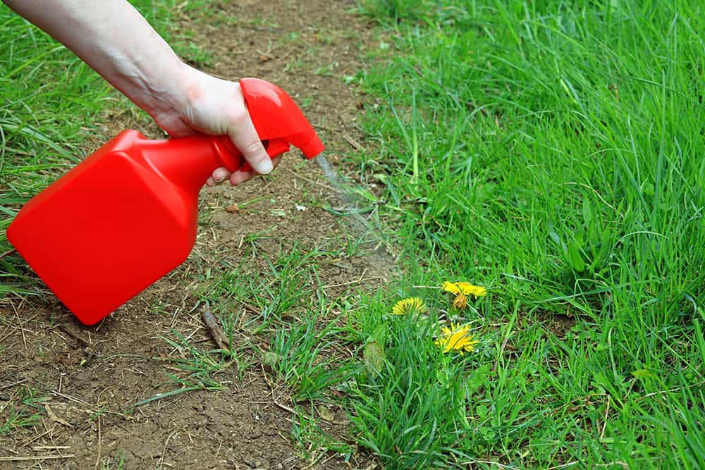 Spraying weeds on a dirt path with a vinegar and dish soap mix