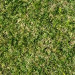 When does St. Augustine grass go dormant?