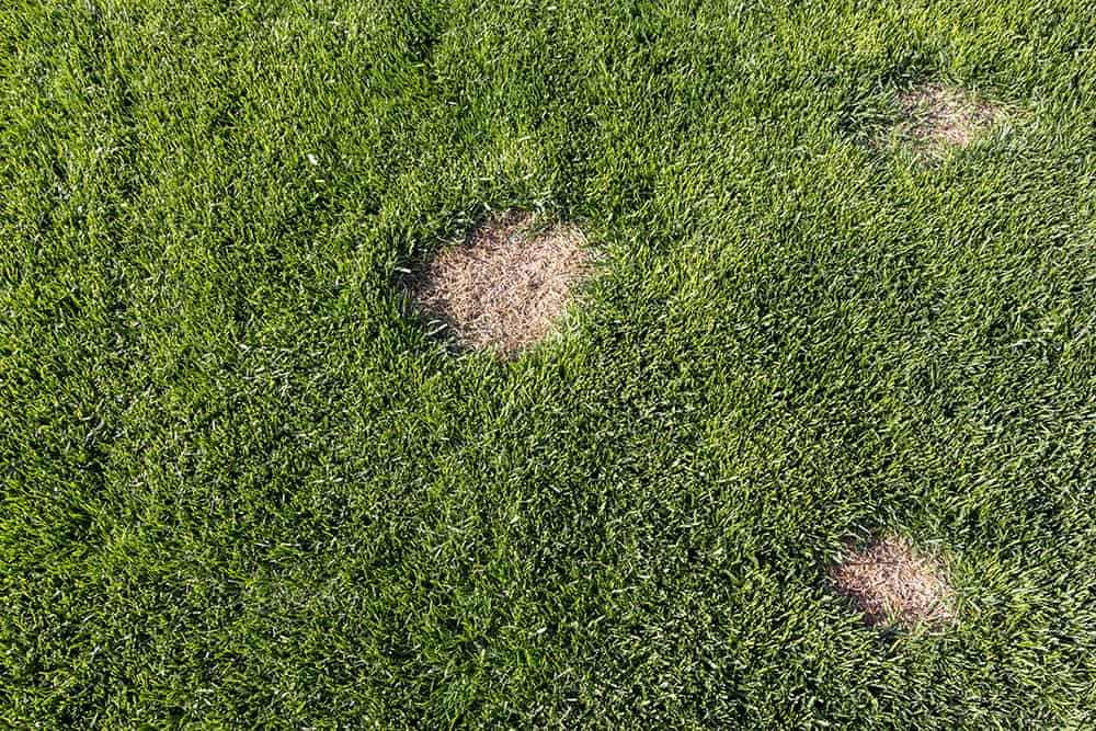Burn spots in lawn from using too much Milorganite every month