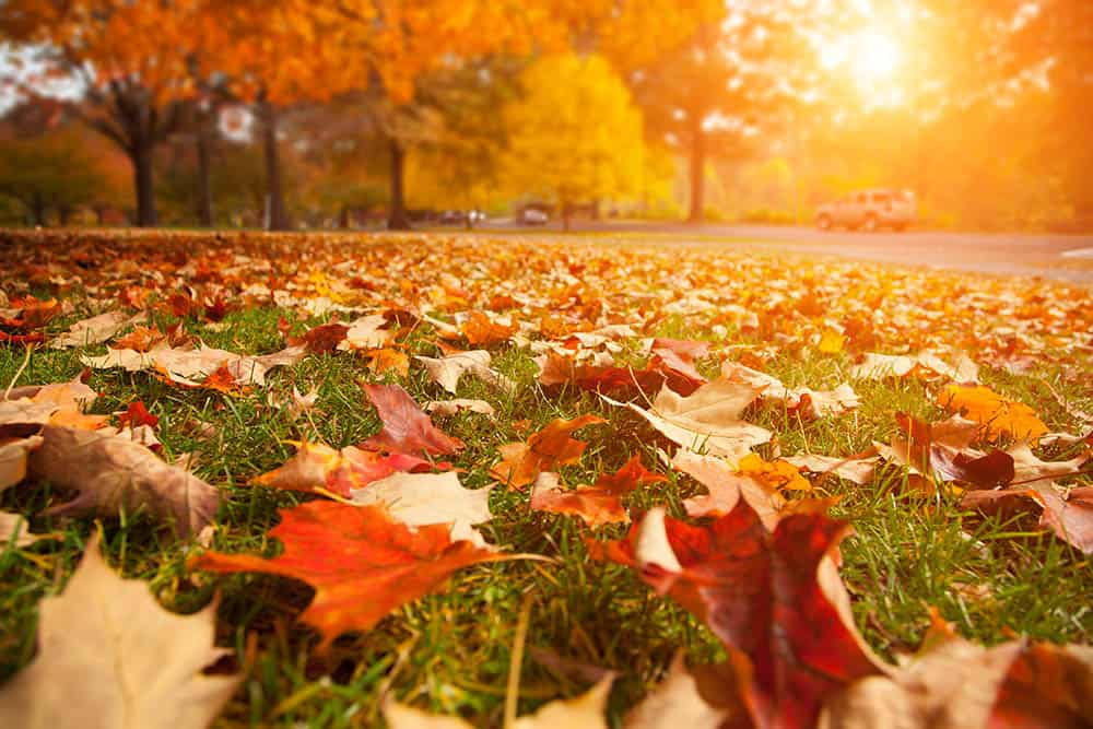 How long can leaves stat on grass?
