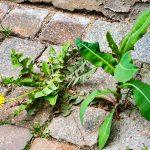 How to get rid of weeds between interlocking bricks