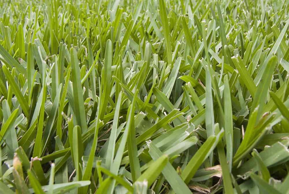 Milorganite St. Augustine Grass