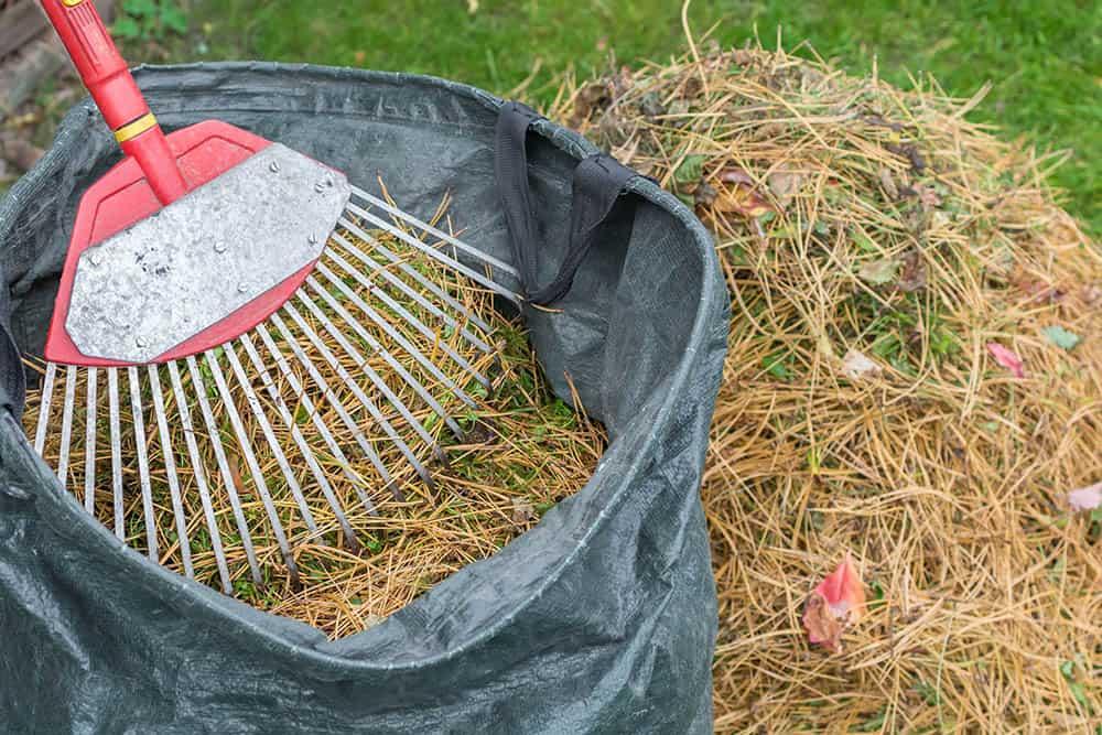 Raking pine needles off the lawn into a bag
