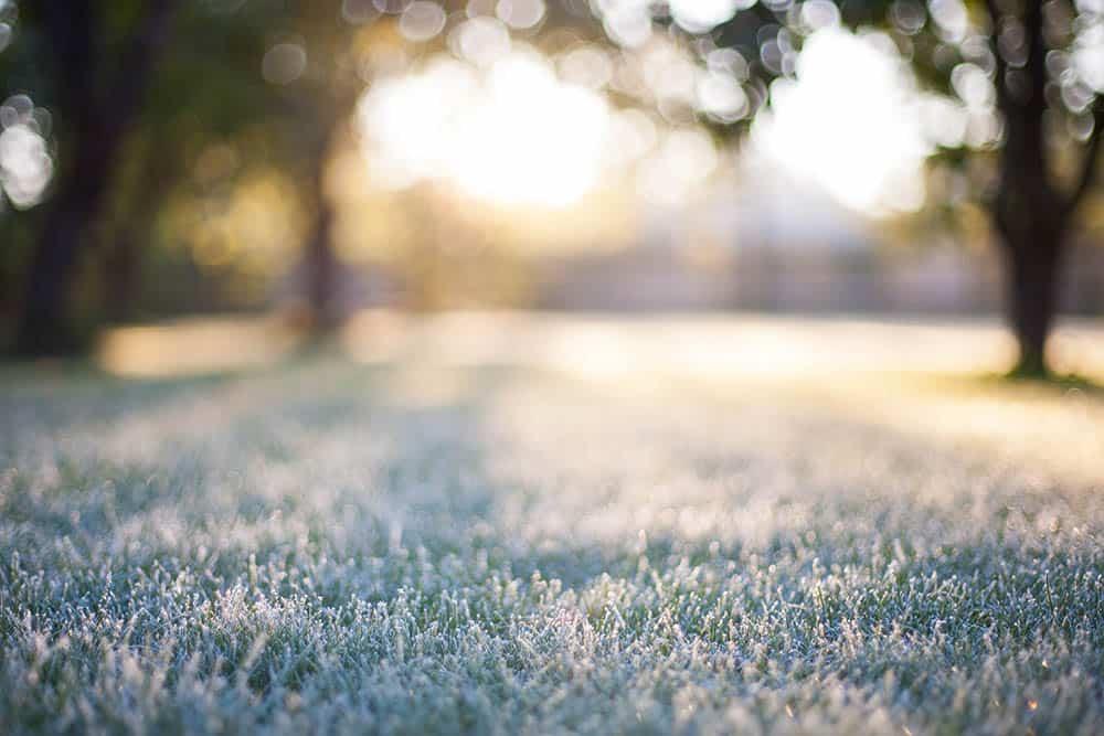 Will frost damage fresh cut grass?