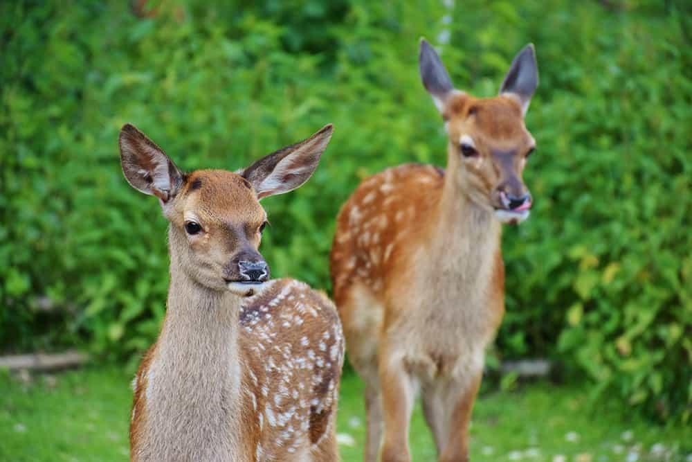 Does Milorganite repel deer?