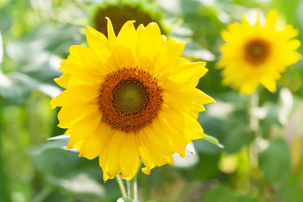 Tips for growing sunflowers in Texas
