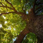 How deep do oak tree roots grow?