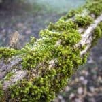 How to get rid of moss on trees
