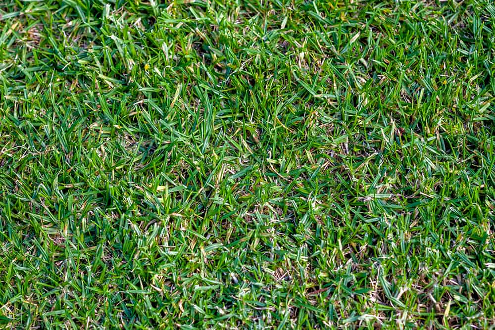 How to maintain Buffalo grass