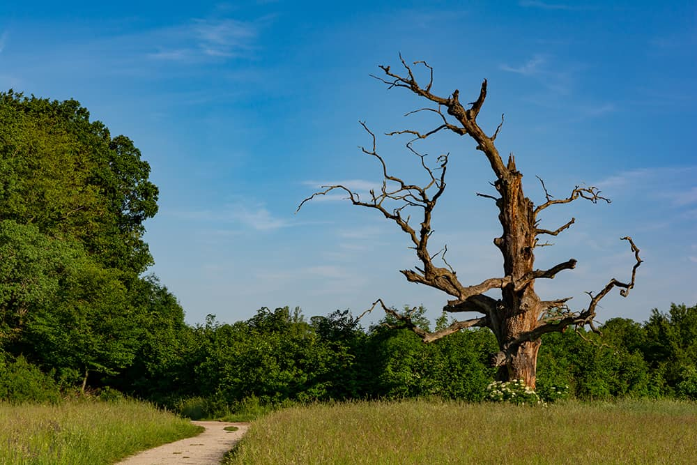 How to save a dying oak tree