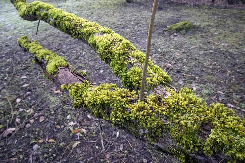 Tips for killing moss on trees