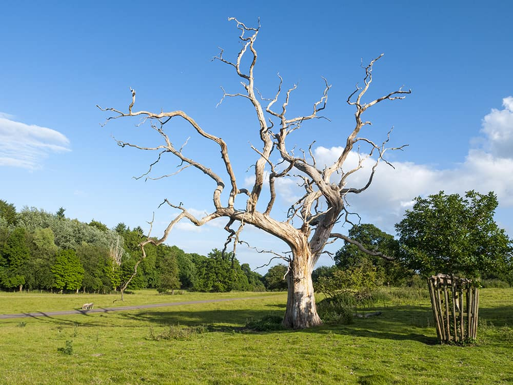 Signs of oak tree dying