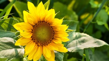 When to plant sunflowers in Texas